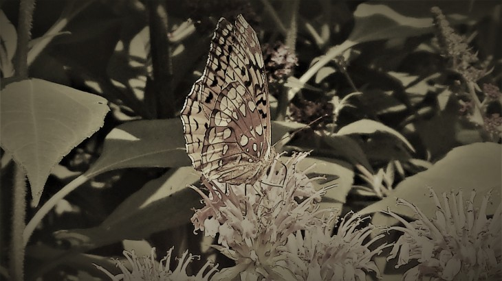 Painted Lady on Flower II.jpg