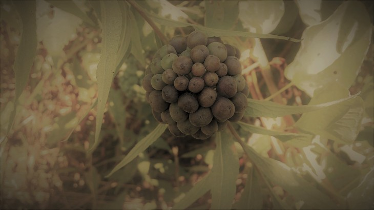 spherical cluster of greenbrier berries.jpg