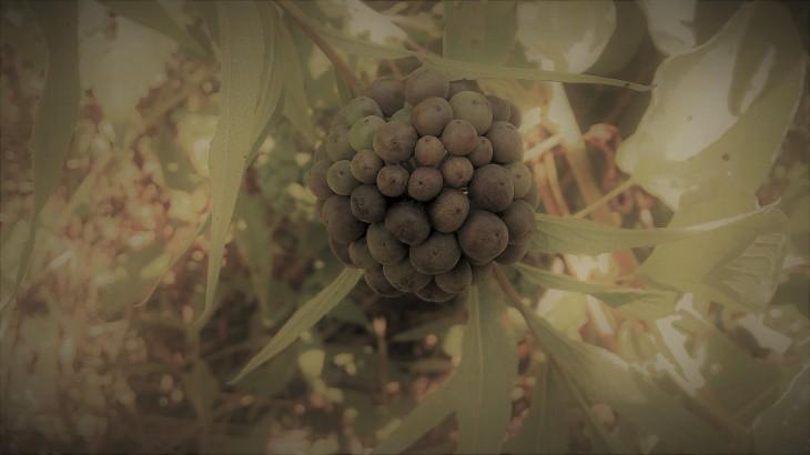 spherical cluster of greenbrier berries.jpg