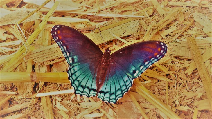 blue butterfly II.jpg